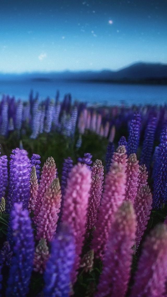 a field of purple flowers iphone wallpaper 640*1136