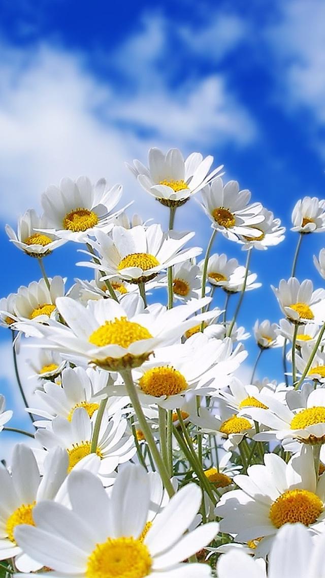 daisy flowers wallpaper 640*1136