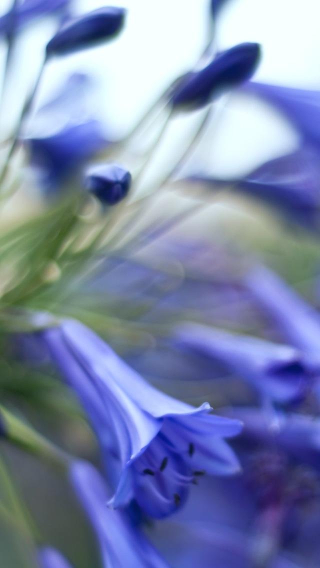 blue flower iphone wallpaper 640*1136 free