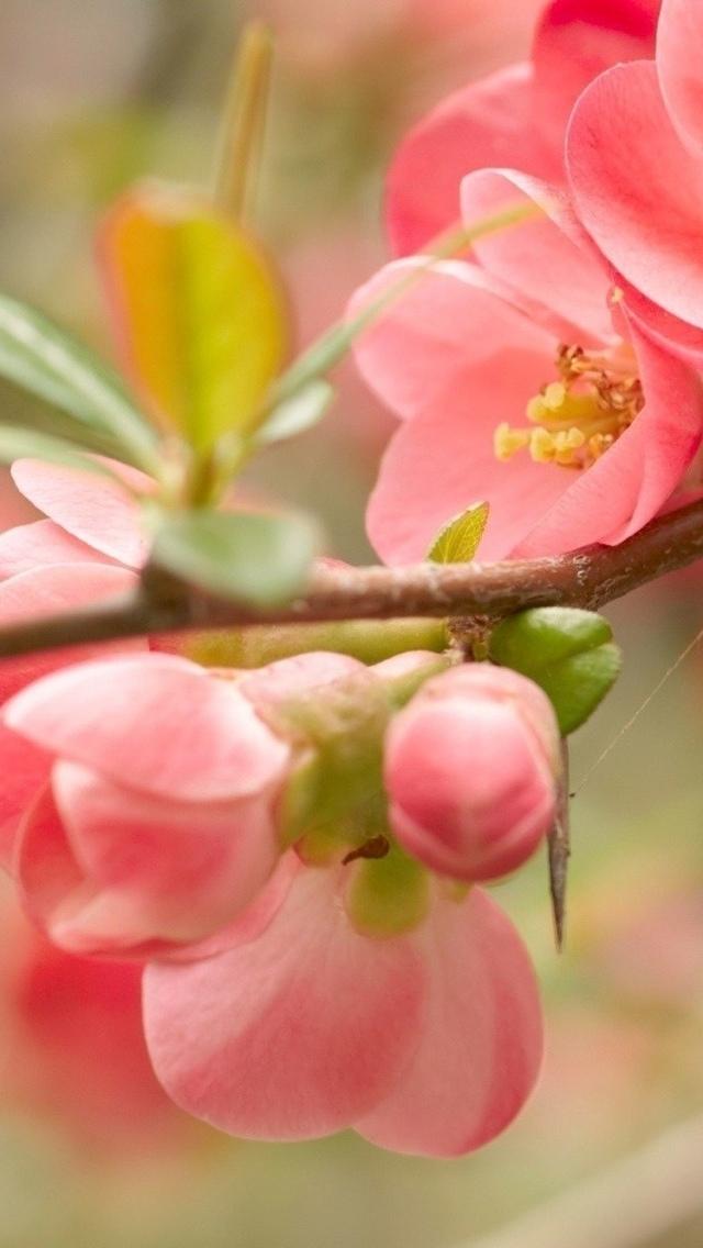 pink flower iphone wallpaper 640*1136 free