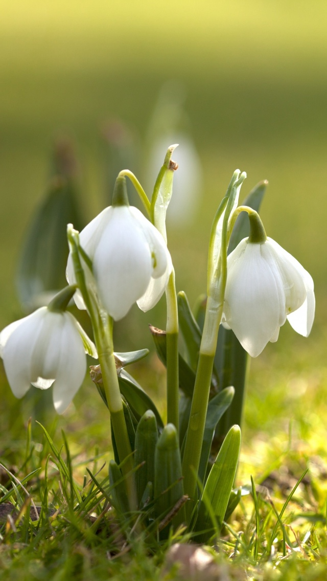 white spring flowers free wallpaper iphone 640*1136