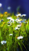 daisy flower field wallpaper