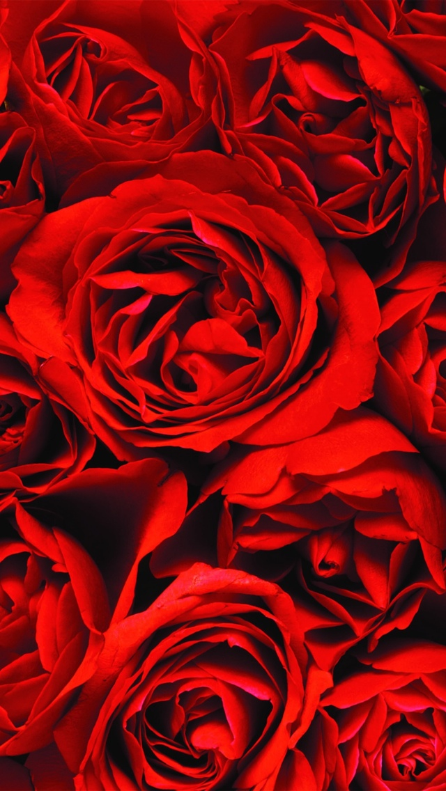 red roses wallpaper iphone 640*1136