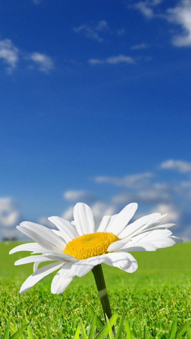 daisy flower iphone wallpaper 640*1136