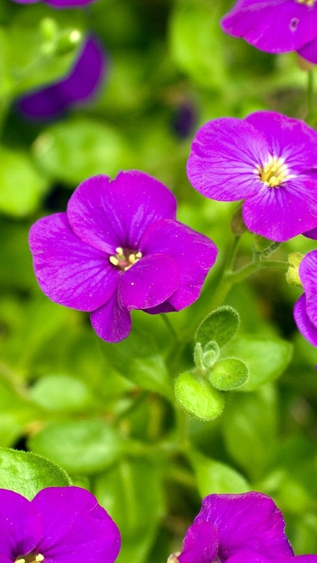 purple flowers iphone wallpaper 640*1136