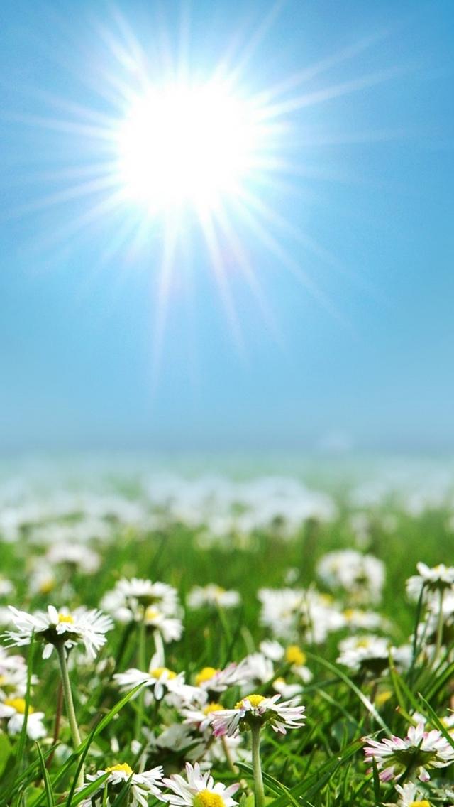 daisy field flowers iphone wallpaper 640*1136