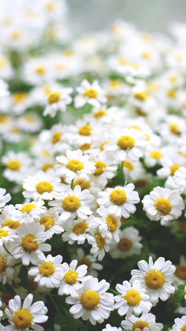 daisy filed flowers iphone wallpaper 640*1136