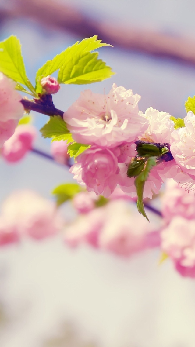 cherry blossom flowers iphone wallpaper 640*1136