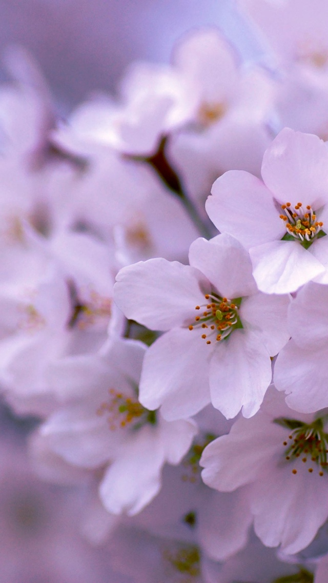 white blossoms on a branch flowers iphone wallpaper 640*1136