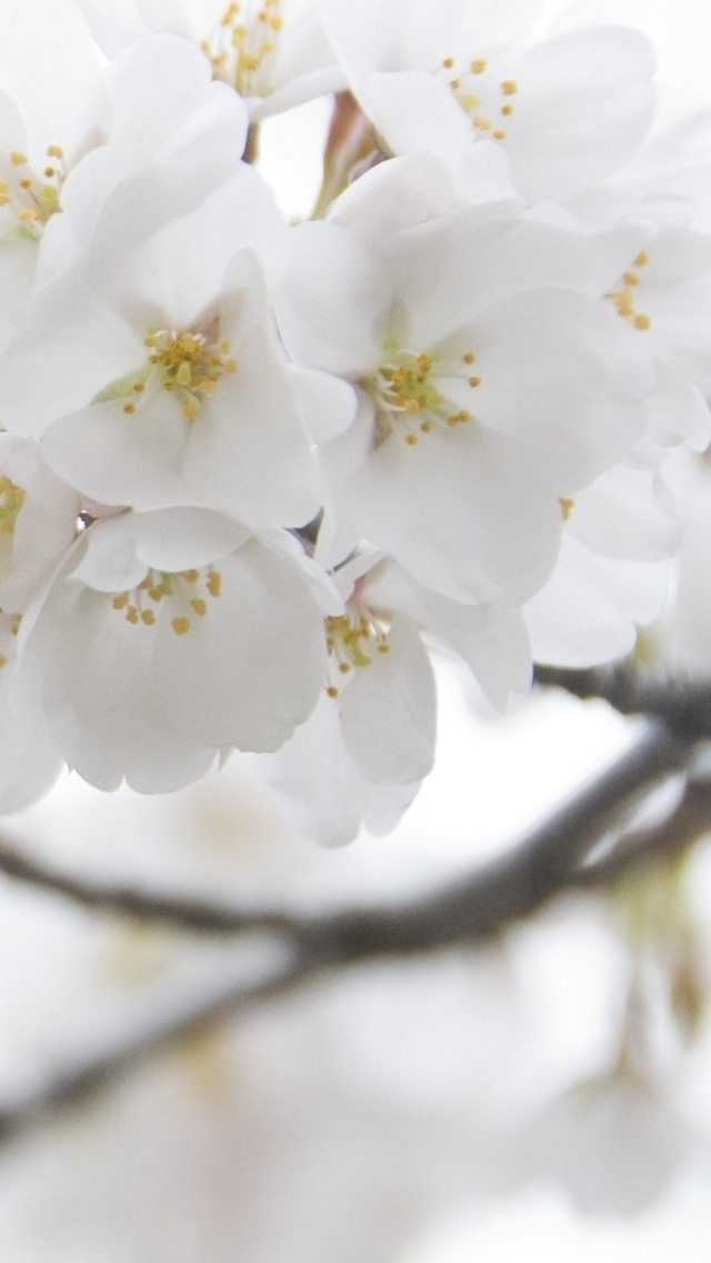 white blossoms on a branch wallpaper 640*1136
