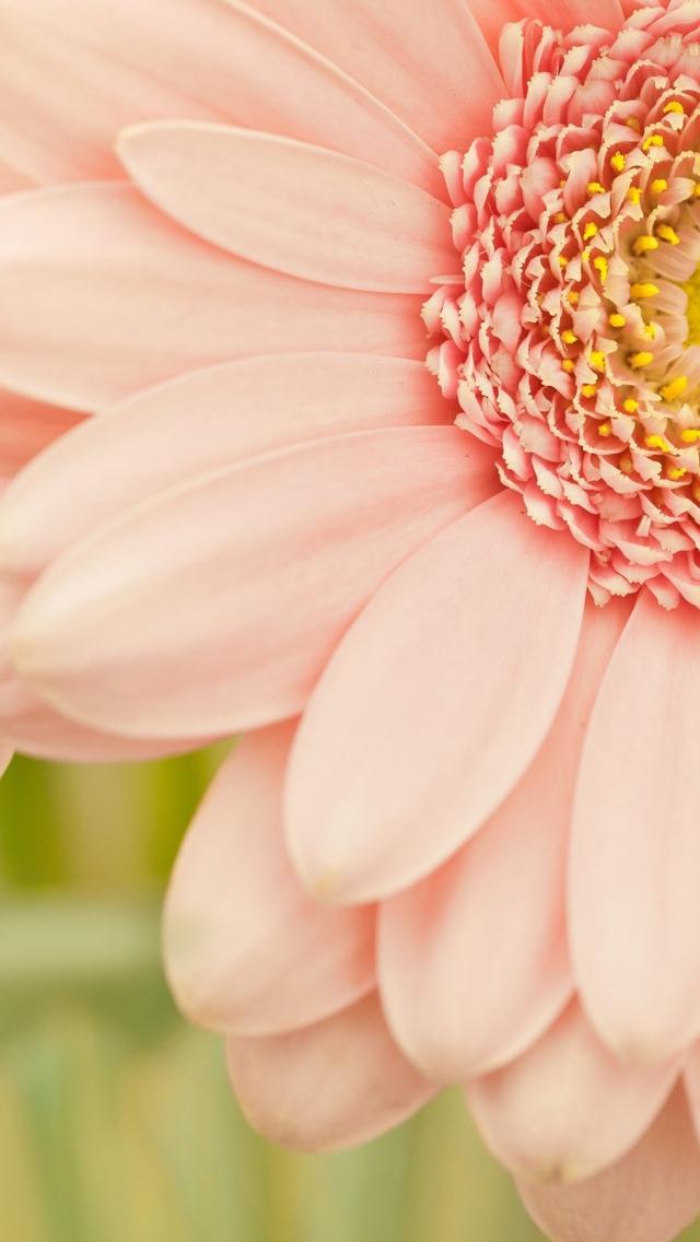 closeup of pink flower iphone wallpaper 640*1136
