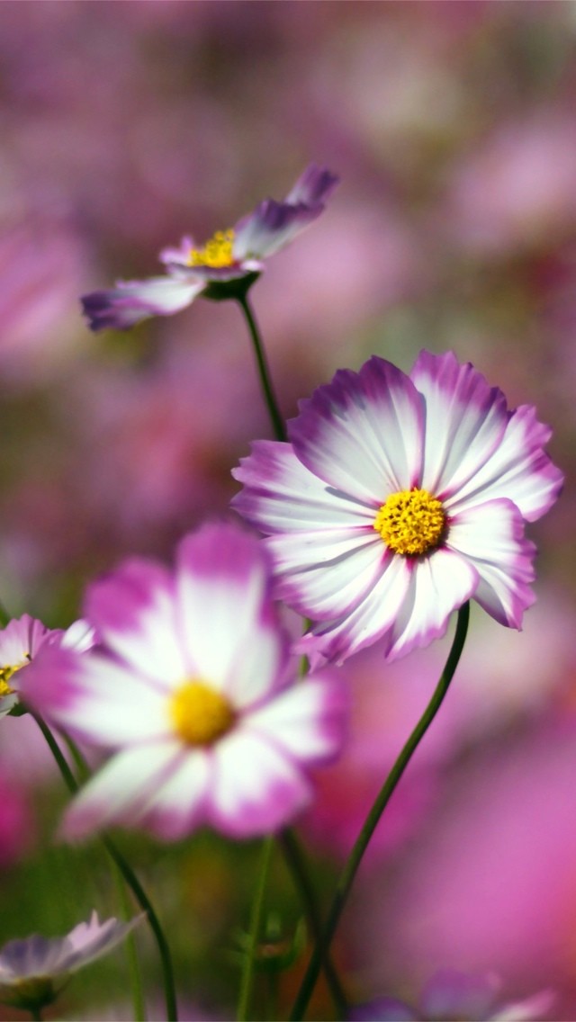 purple daisy flowers iphone wallpaper 640*1136