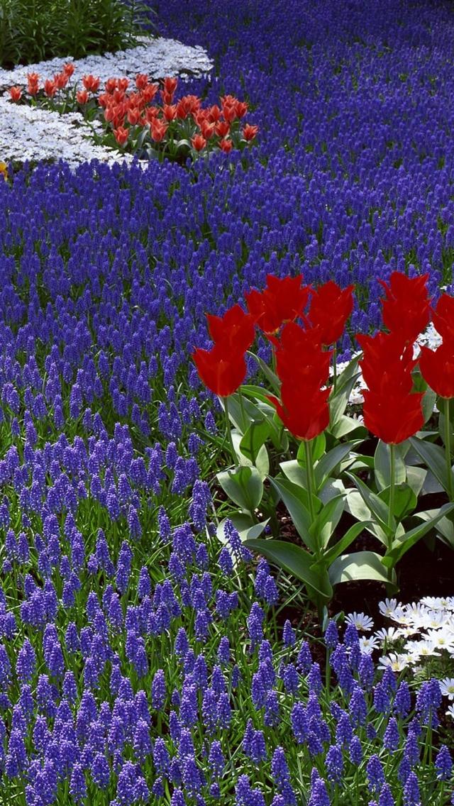 blue flower field wallpaper 640*1136