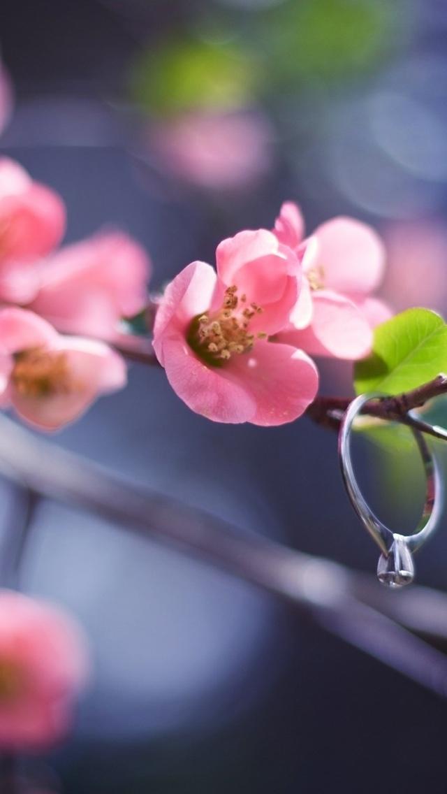 pink cherry blossom flowers wallpaper 640*1136