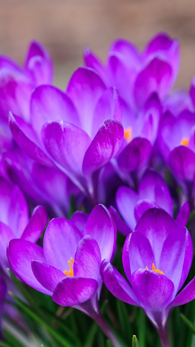 blue spring flower iphone wallpaper 640*1136 free