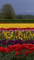 a field of clorful tulips