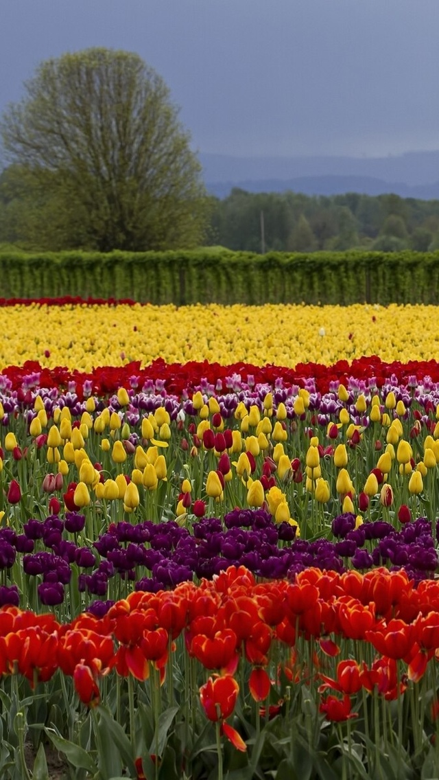 tulip field free wallpaper iphone 640*1136
