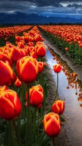 red tulip field background