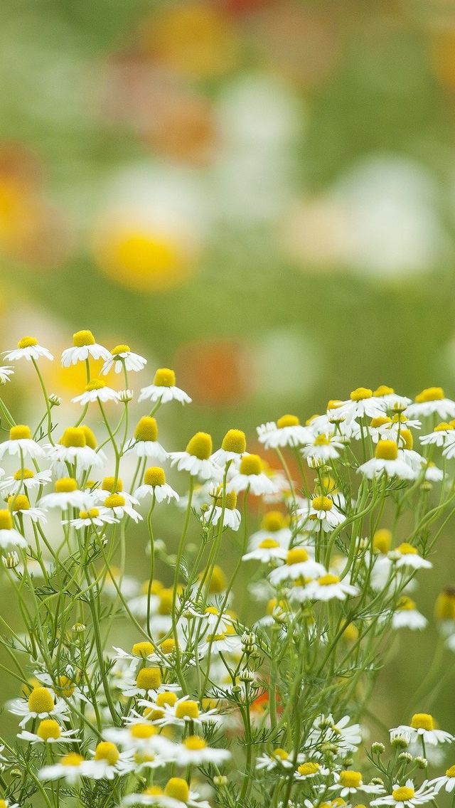 daisies in the field iphone wallpaper 640*1136
