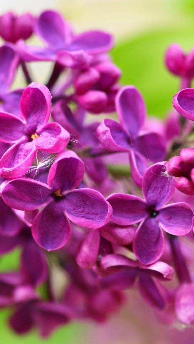 lilacs purple flowers iphone wallpaper 640*1136