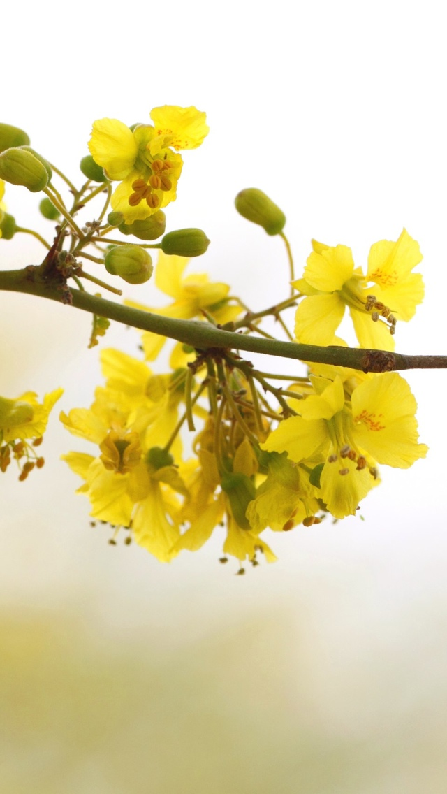 yellow flowers on a branch iphone wallpaper 640*1136