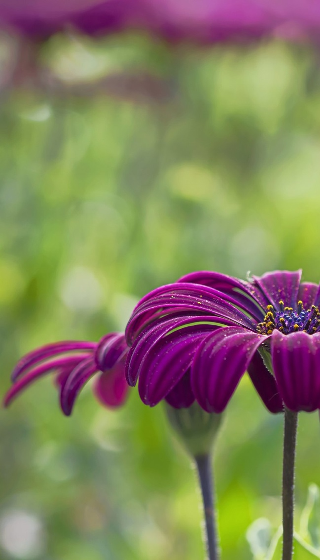 dark purple daisy flowers iphone wallpaper 640*1136