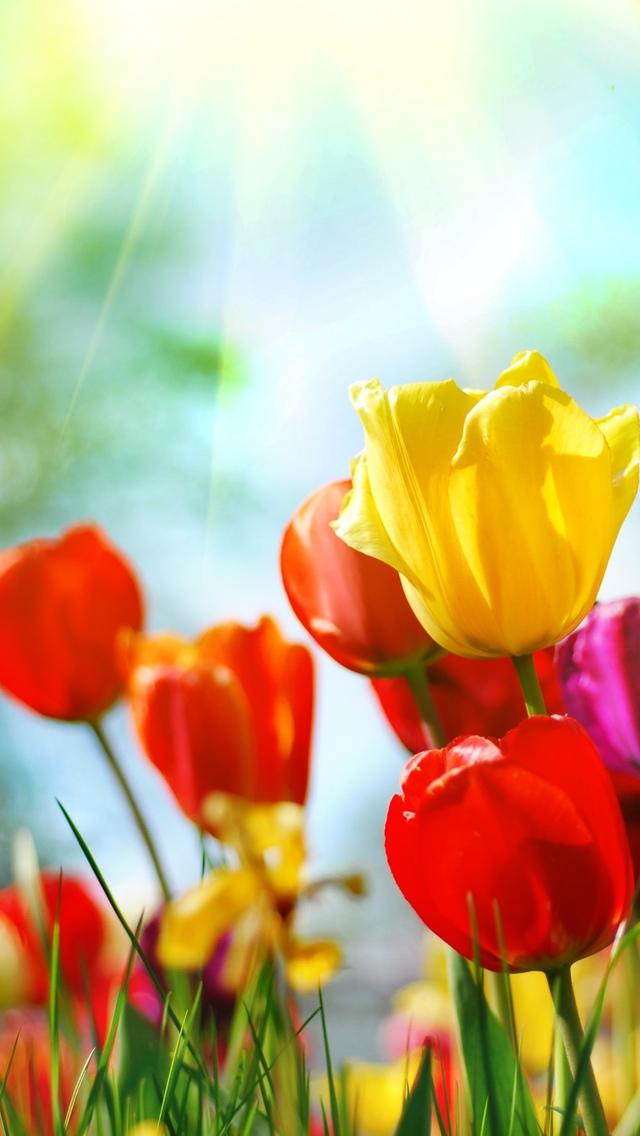 wild tulips flowers iphone wallpaper 640*1136