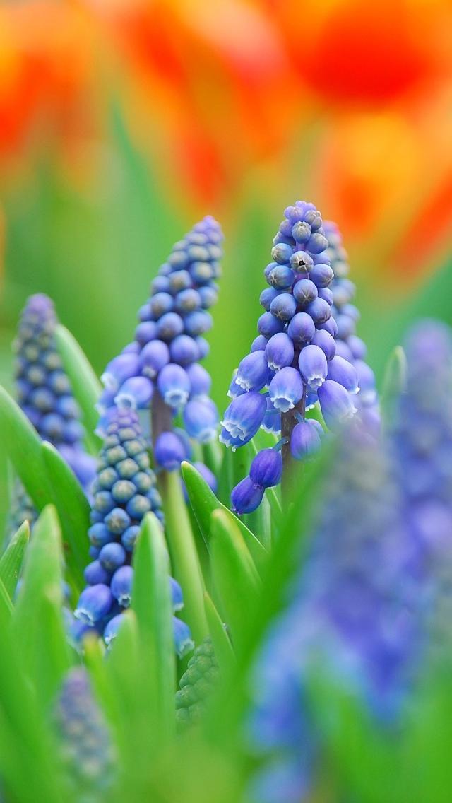 blue flowers iin the field iphone wallpaper 640*1136
