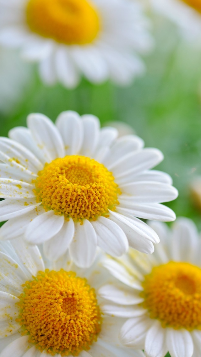 dailsy petals flowers iphone wallpaper 640*1136