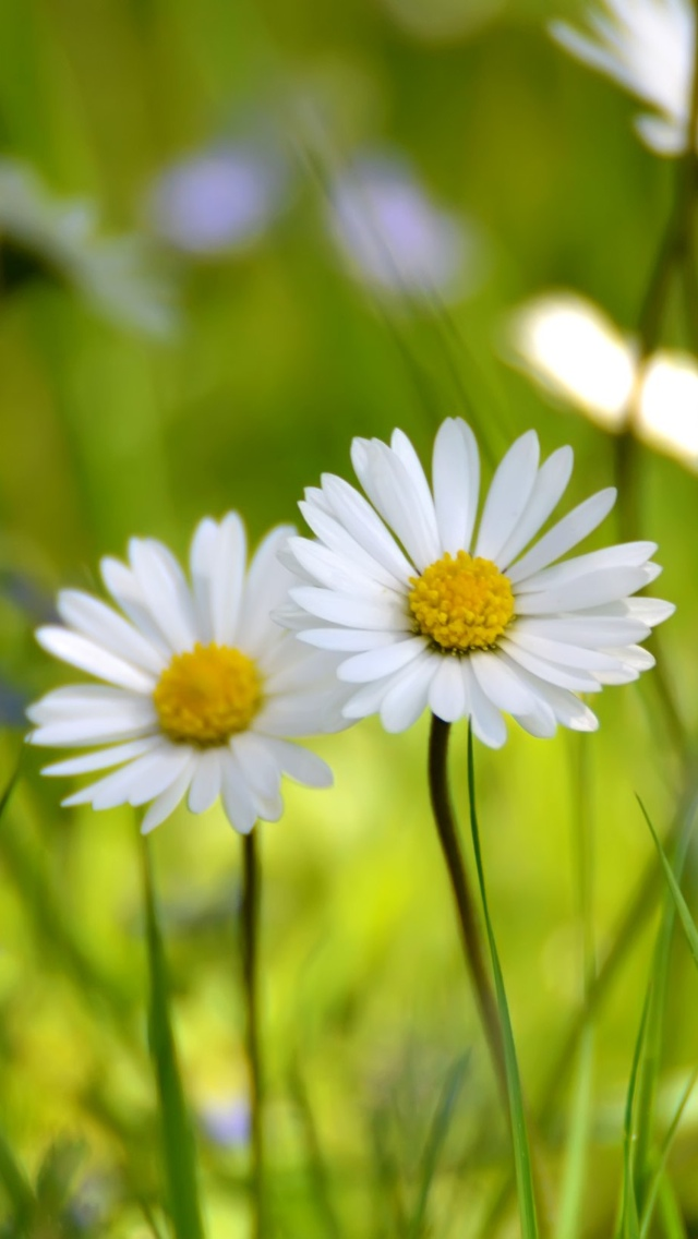 two daisy flowers iphone wallpaper 640*1136