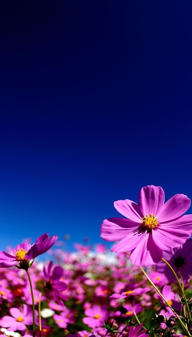 purple daisy flowers iphone wallpaper 640*1136