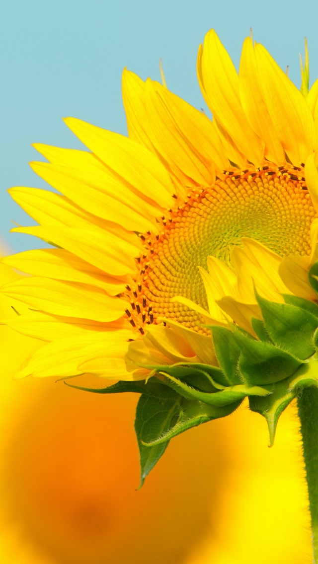sunflower wallpaper 640*1136