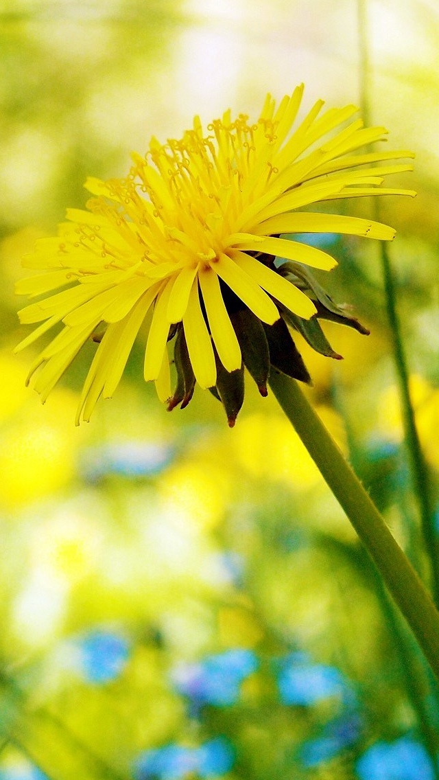 dandelion flowers wallpaper 640*1136