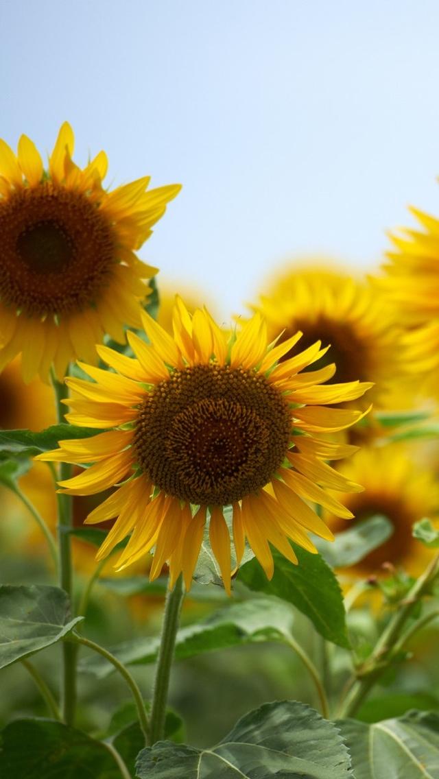 sunflowers wallpaper 640*1136