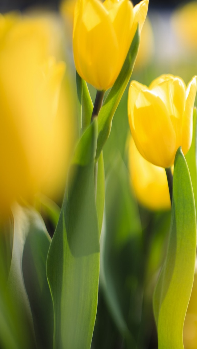 yellow tulip flower iphone wallpaper 640*1136 free
