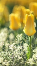 yellow tulips wallpaper for iphone