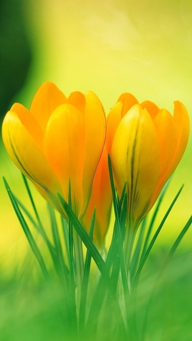 yellow spring flower free wallpaper iphone 640*1136