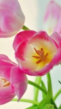 tulip background in pink