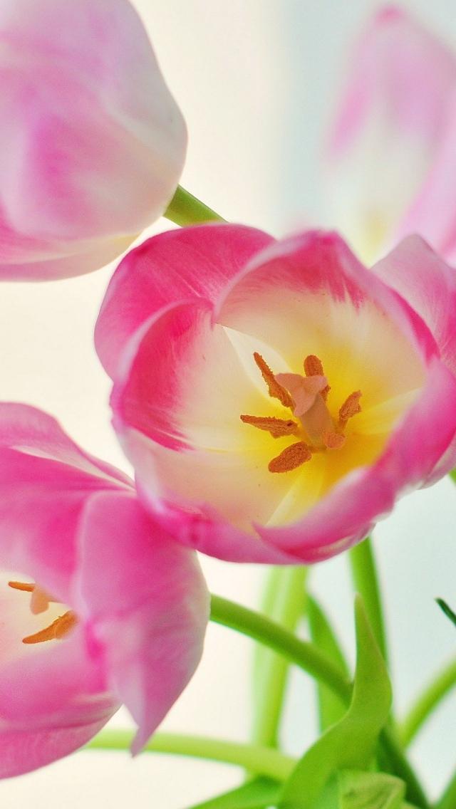 pink tulip wallpaper iphone 640*1136