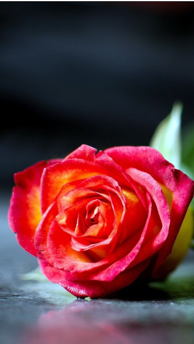 red rose wallpaper iphone 640*1136