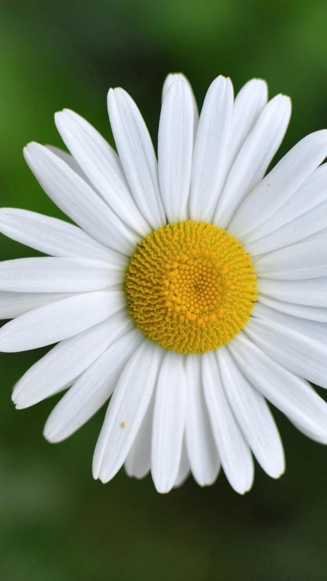 daisy petals closeup 640*1136