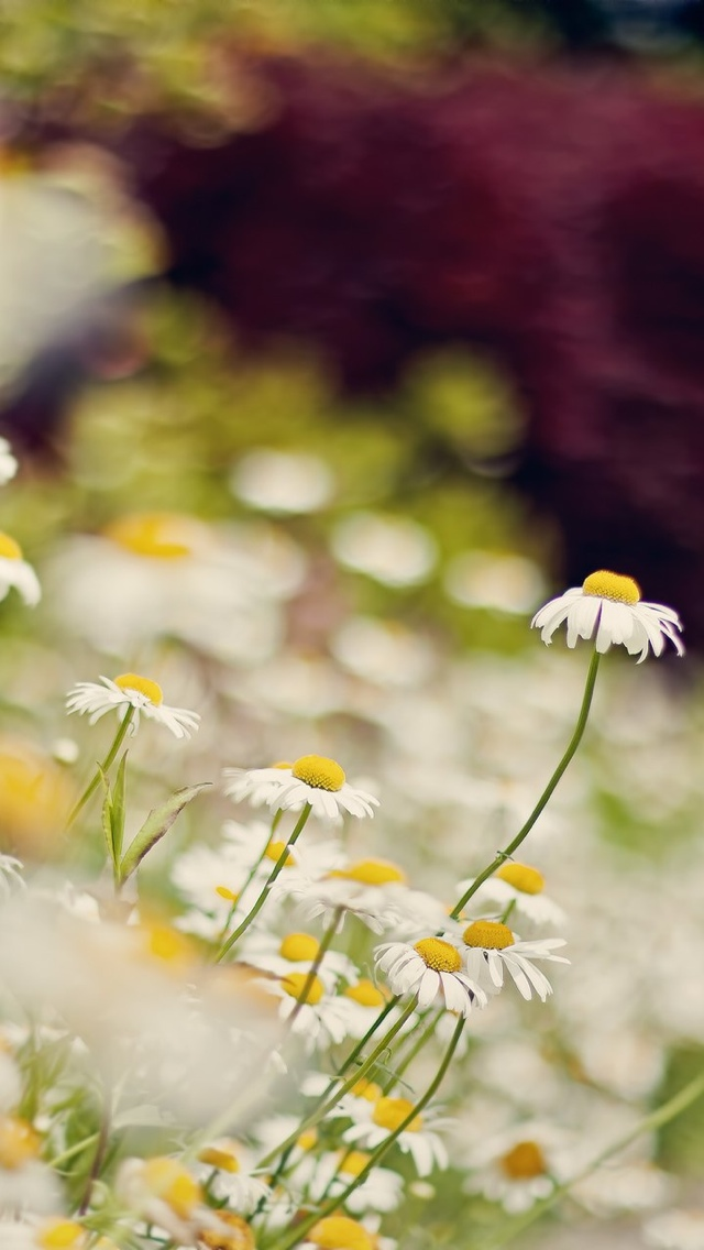 wild daisy filed flowers iphone wallpaper 640*1136