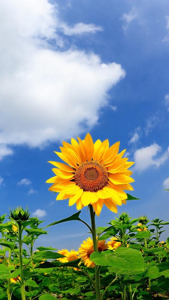 sunflower iphone wallpaper 640*1136