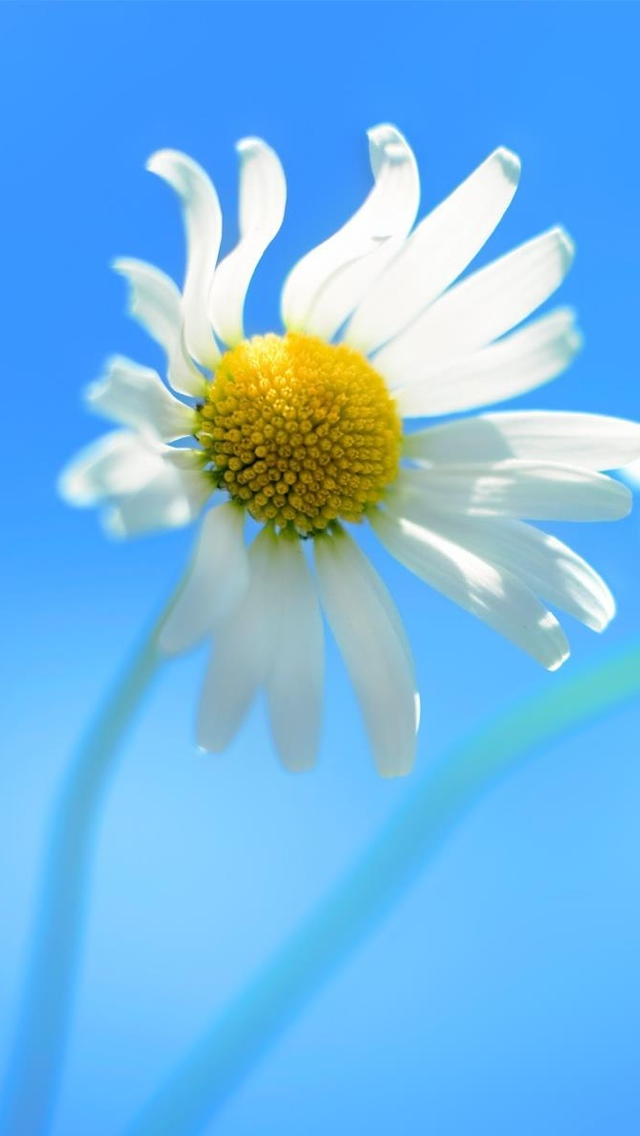 wild daisy flower iphone wallpaper 640*1136