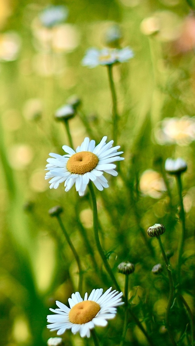 daisy flowers iphone wallpaper 640*1136
