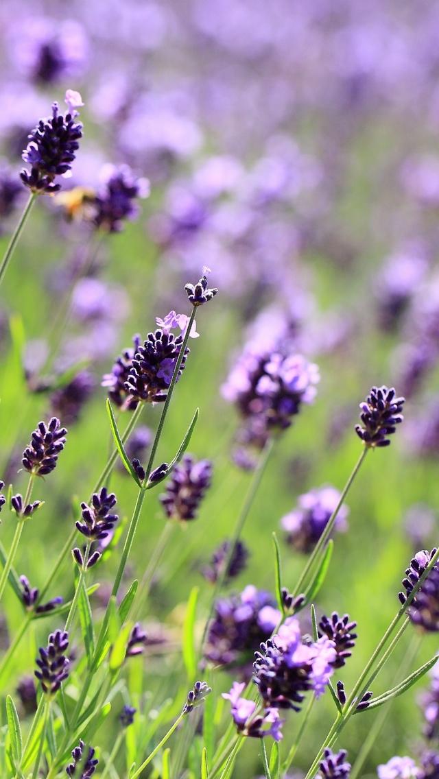 purple flowers in the field iphone wallpaper 640*1136
