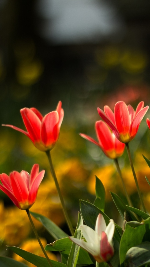 tulips flowers iphone wallpaper 640*1136