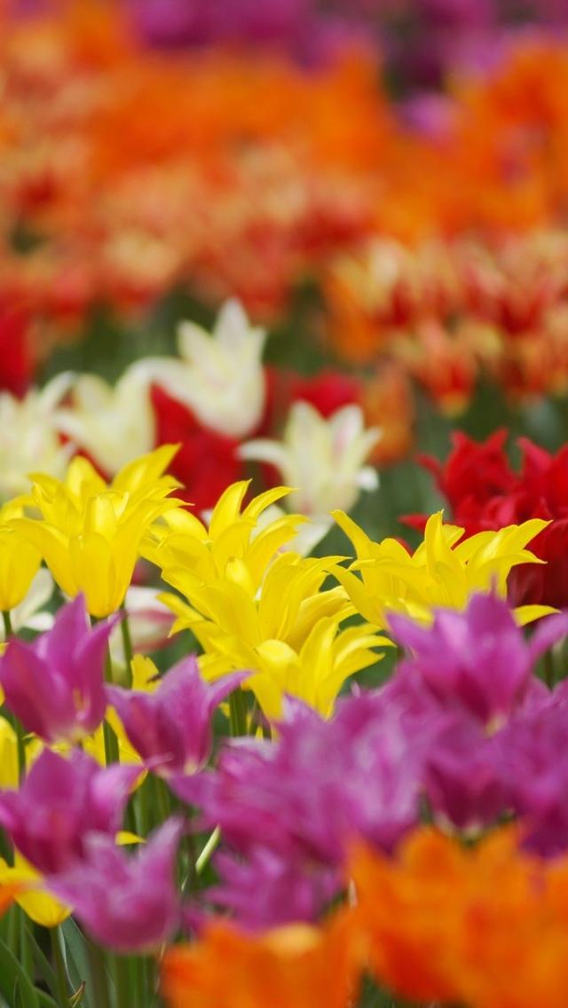 a field of tulip flowers wallpaper 640*1136