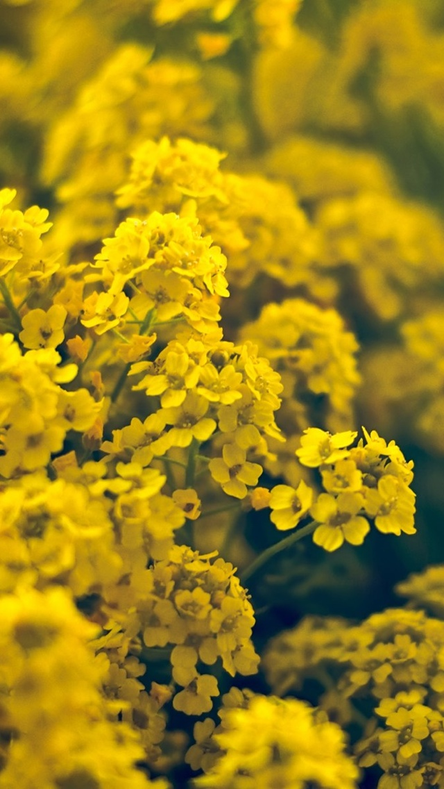 yellow spring flowers wallpaper 640*1136