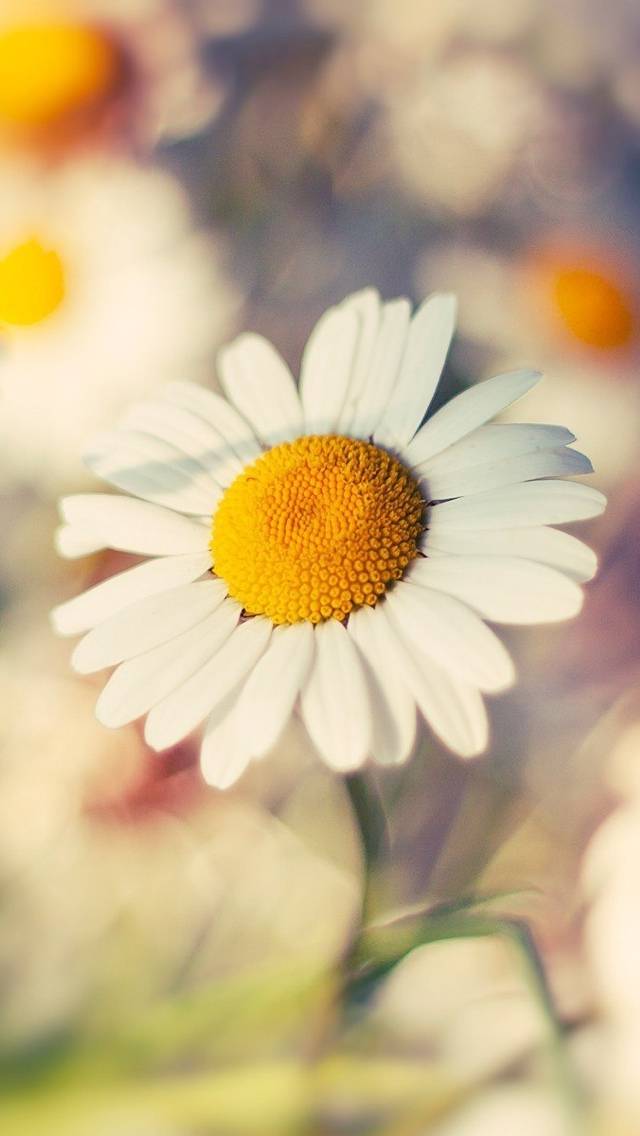 white daisy flowers free wallpaper iphone 640*1136